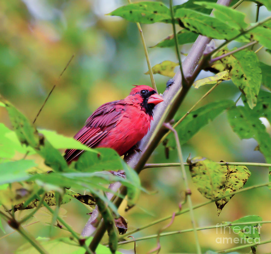 Birds of Autumn - Male Northern Cardinal by Kerri Farley