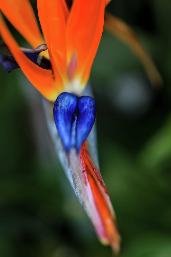 Birds Of Paradise Up Close by Uncle Arny