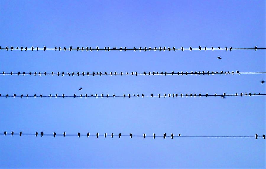 birds on lines by FD Graham