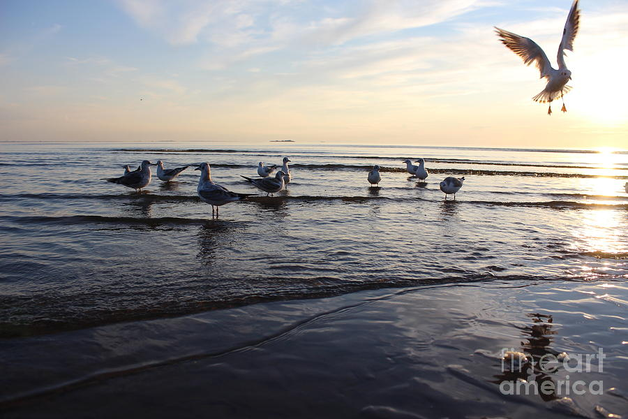 Flight Photograph - Birds On The Sunset Seagulls At Sunset by Antshev