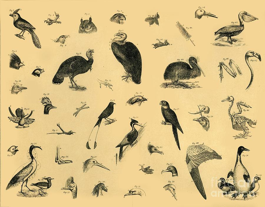 Birds Drawing by Print Collector