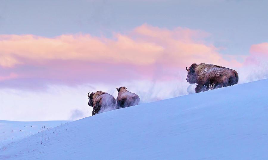 Bison at Sunrise by Eilish Palmer