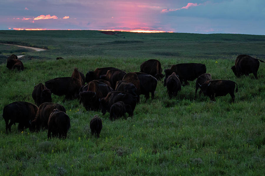 Bison at Sunset by Jay Stockhaus