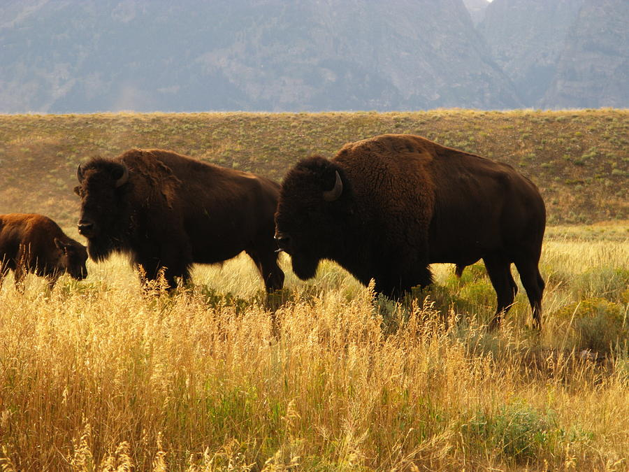 Bison Buffalo Family By Sassy1902