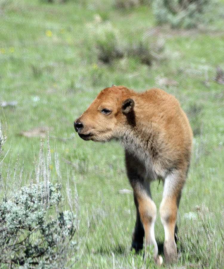 Bison Photograph - Bison Calf In Lamar Valley by Jean Clark