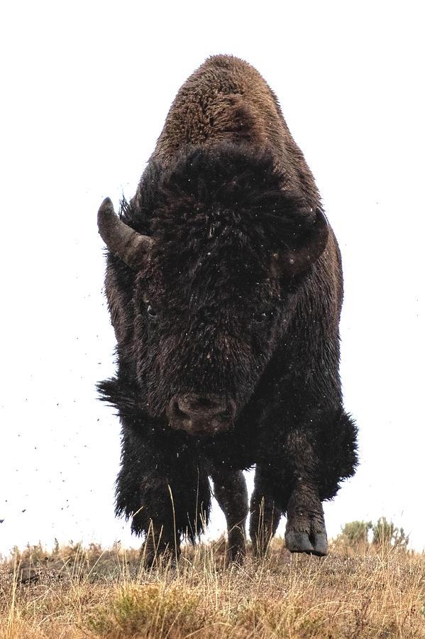 Bison Charging by OLena Art