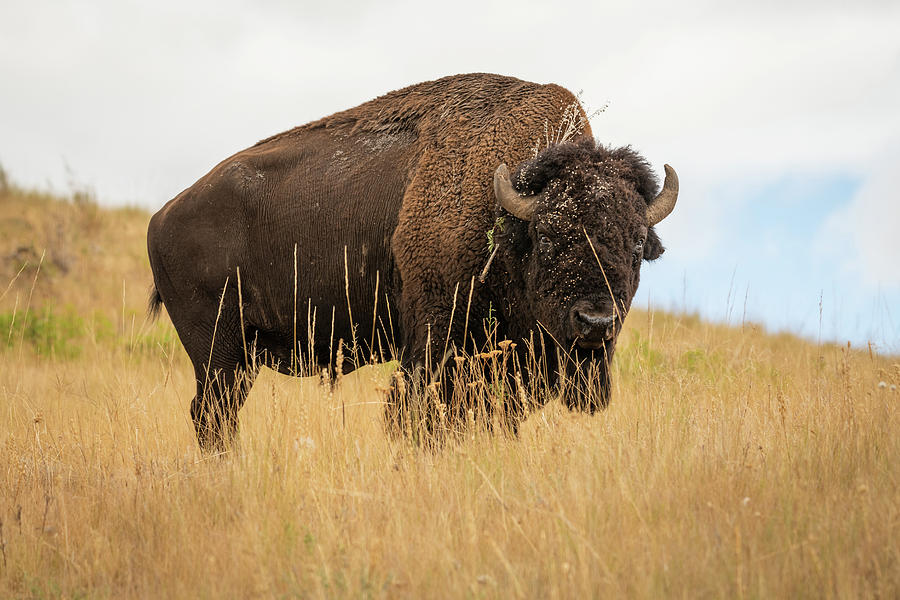 Bison by Constance Puttkemery