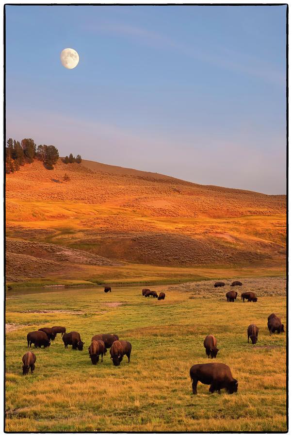 Bison Grazing On Hill At Hayden Valley Photograph by Sankar Raman