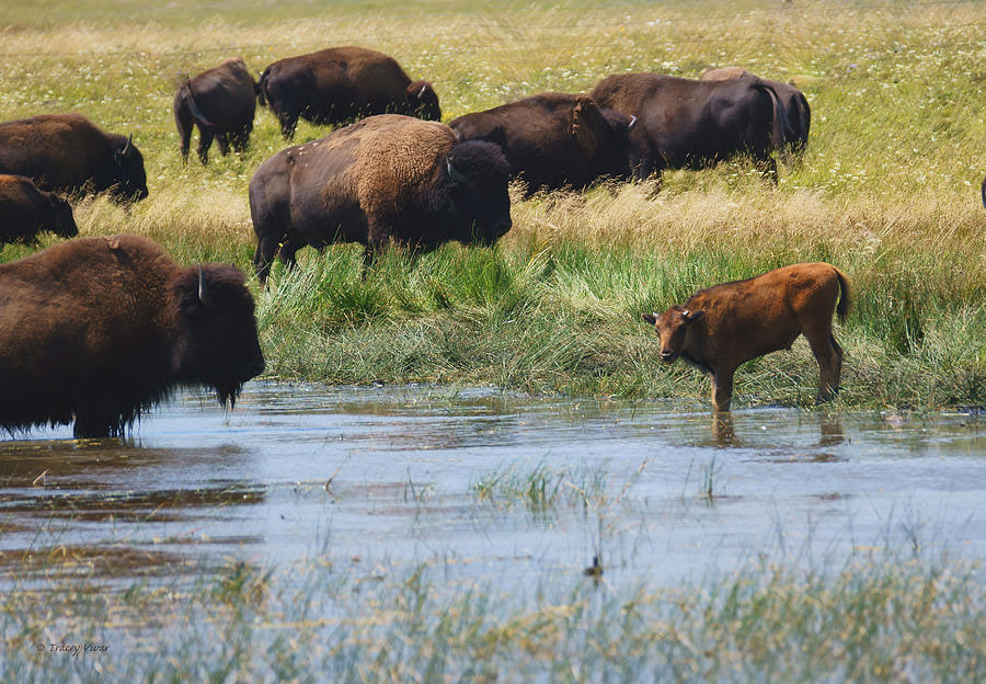 Bison Herd by a lake  by Tracey Vivar