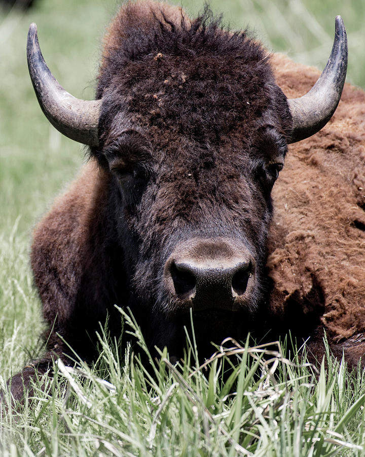 Bison in Custer State Park South Dakota by Art Whitton