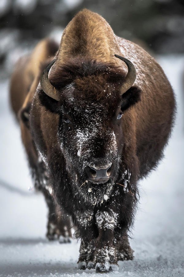Bison Photograph - Bison in Line by Russell Cody