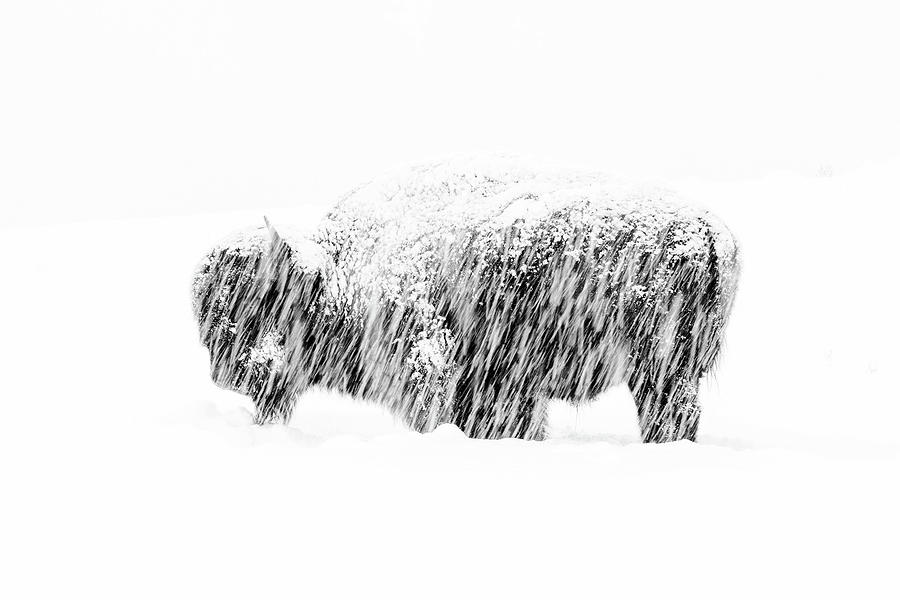 American Bison Photograph - Bison In Painted Snow by Max Waugh