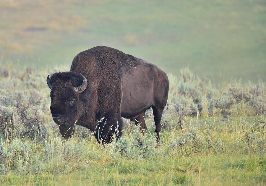 Bison in Portrait by Rae Ann  M Garrett