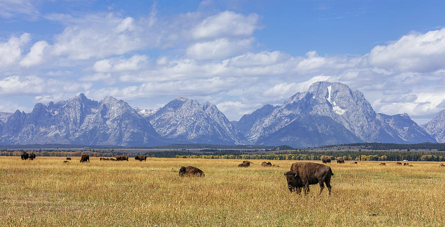 Bison in the Tetons by Mark Harrington
