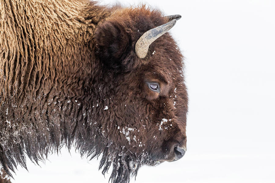 Bison In Winter Photograph by Kencanning