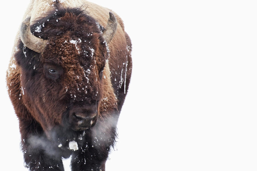 Bison In Yellowstone National Park Photograph by Susan Dykstra / Design Pics