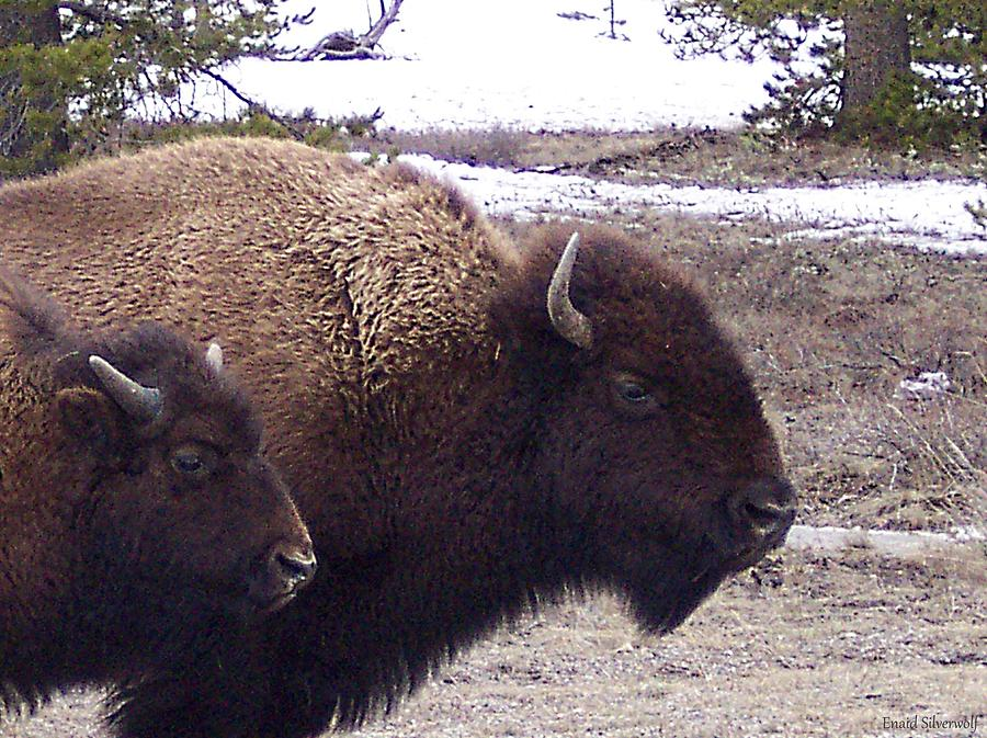 Bison Mother and Calf  by Enaid Silverwolf
