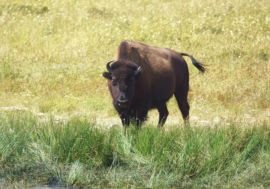 Bison On Alert by Tracey Vivar