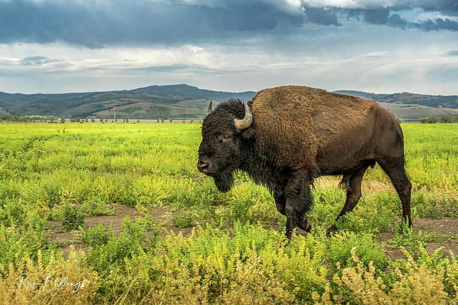 Bison on the Move No 1077 by Rick Billings