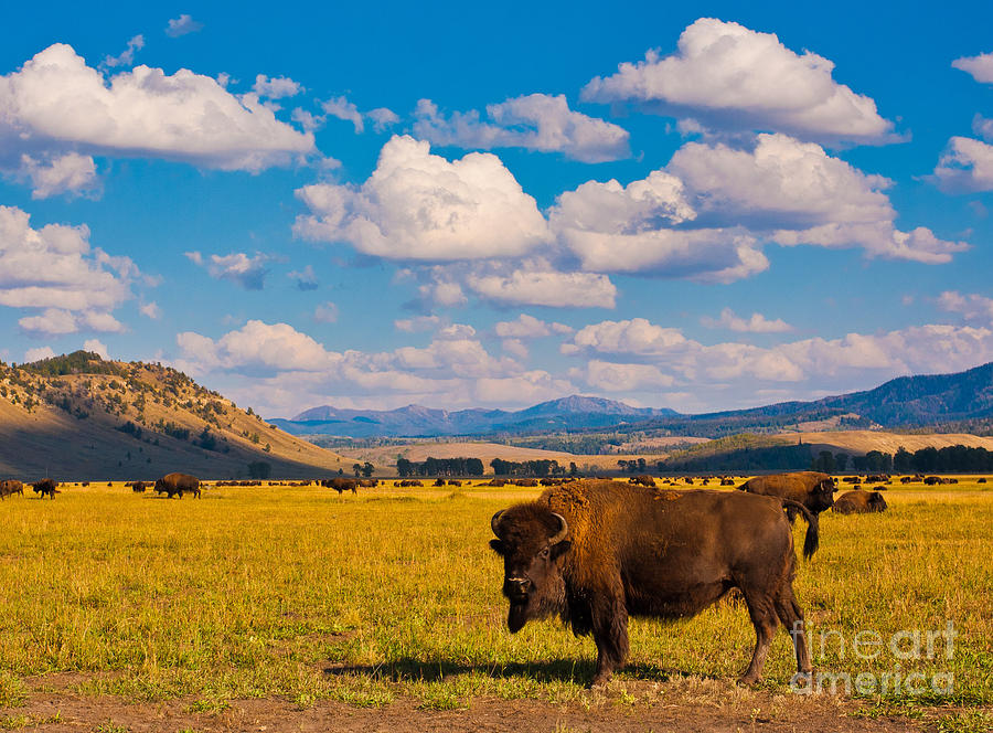 Grand Teton National Park Photograph - Bison Paradise In Yellowstone National by Lorcel