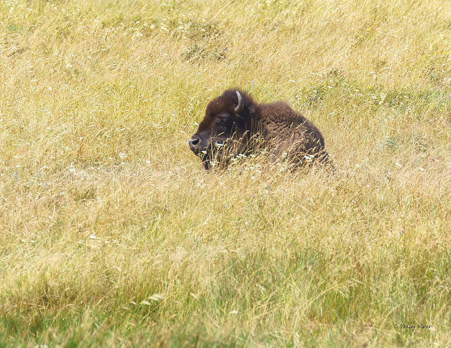 Bison Resting in the Grass by Tracey Vivar