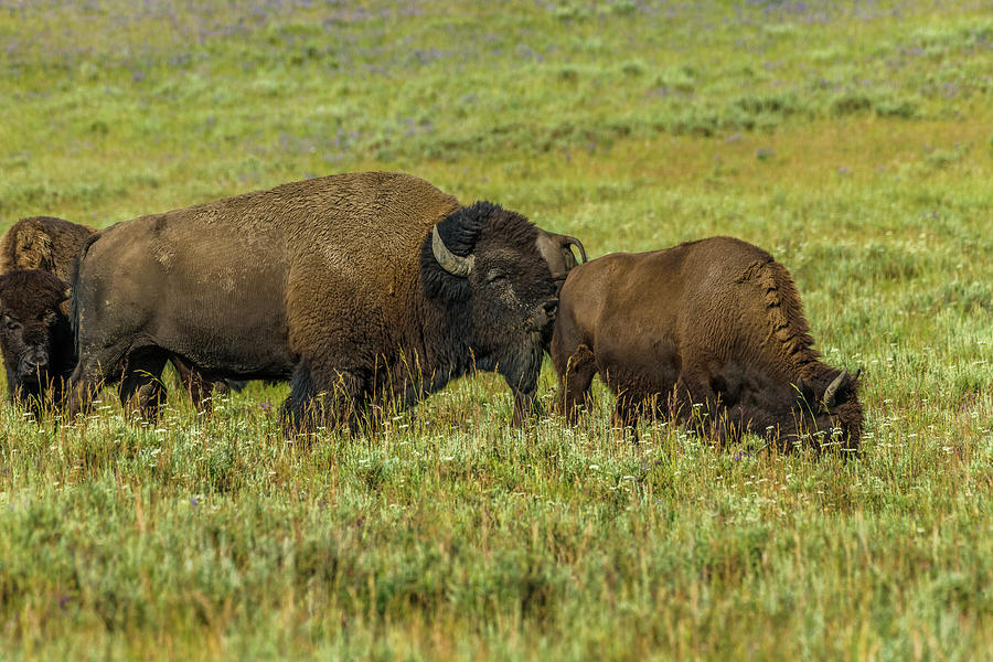 Bison Rut Season by Yeates Photography