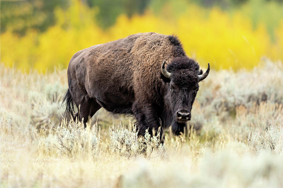 Bison with Fall Colors by Mark Harrington