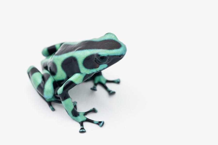 Black And Green Poison Dart Frog Photograph by Design Pics / Corey Hochachka