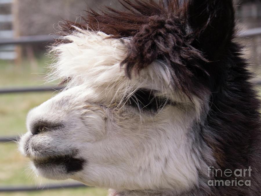 Black and White Alpaca by Christy Garavetto