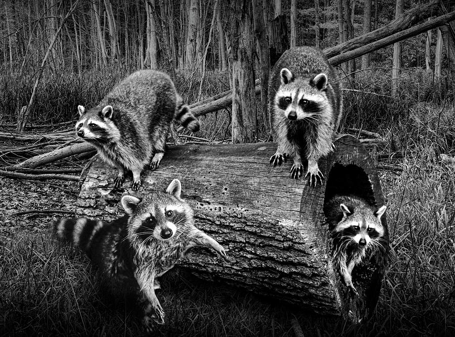 Black and White Bandits by Randall Nyhof
