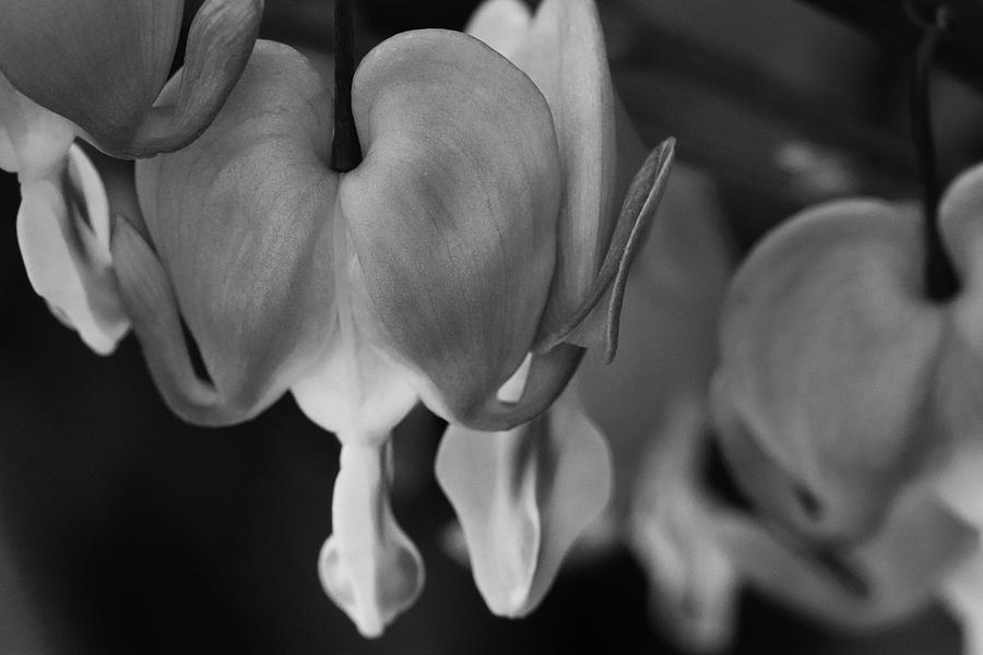 Black and White Bleeding Hearts by TJ Fox