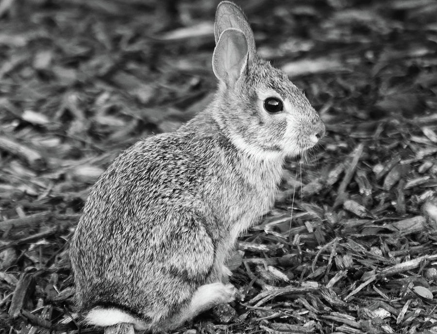 Black and White Bunny Rabbit by TJ Fox