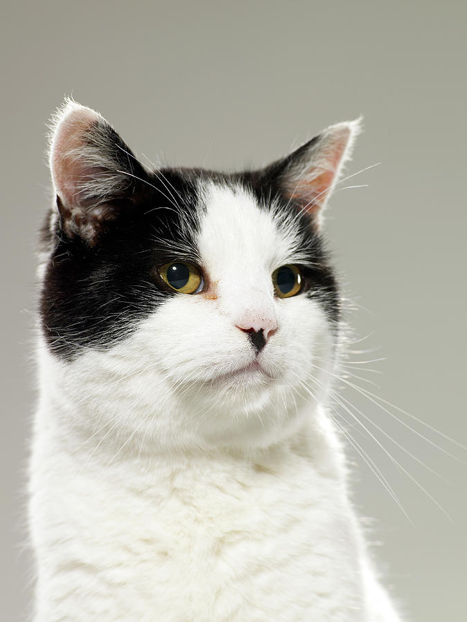 Black And White Cat, Looking Away Photograph by Michael Blann