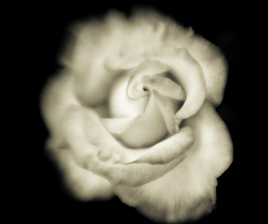 Black And White Close-up Of White Rose Photograph by Bob Cornelis