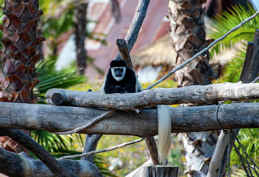 Black and White Colobus Monkey by Anthony Jones