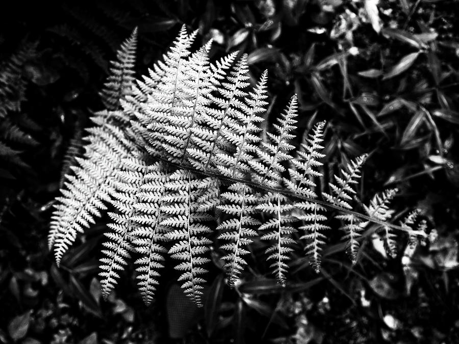 Black and White Fern by Louis Dallara