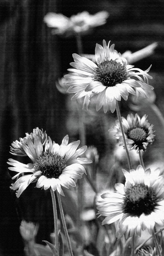Black And White Gaillardia by HH Photography of Florida