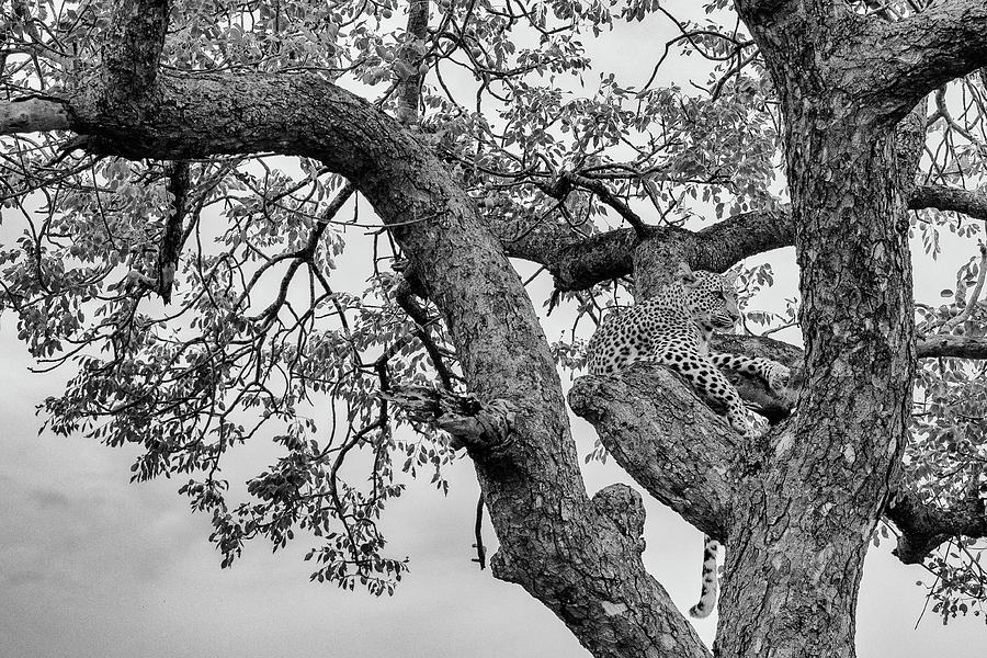 Black and White Image of an Alert Leopard in a Tree by Mark Hunter