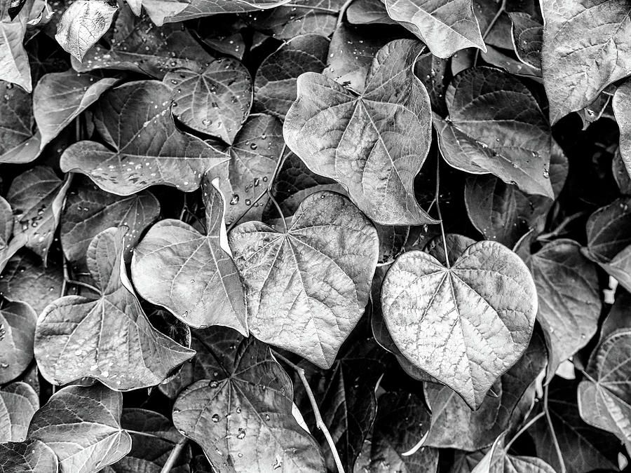 Black and White Leaves from a Red Leaf Tree by Louis Dallara