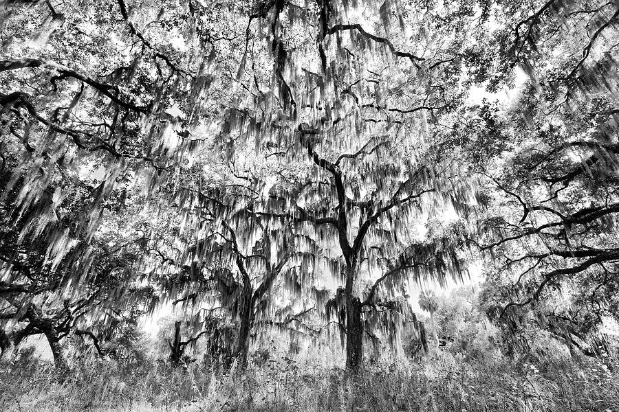 Adam Jones Photograph - Black And White Of Live Oaks Draped by Adam Jones