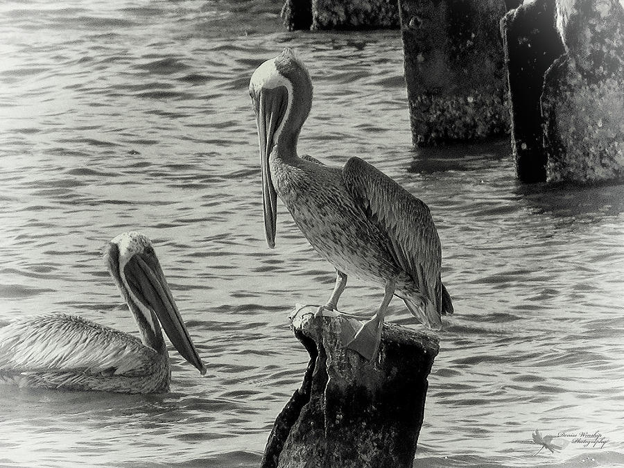 Black and White Pelicans by Denise Winship