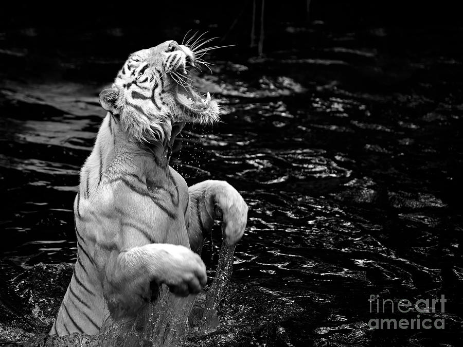 Growling Photograph - Black And White Picture Of A White by Kjersti Joergensen