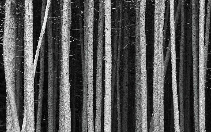 Black And White Pine Tree Trunks Photograph by Imaginegolf