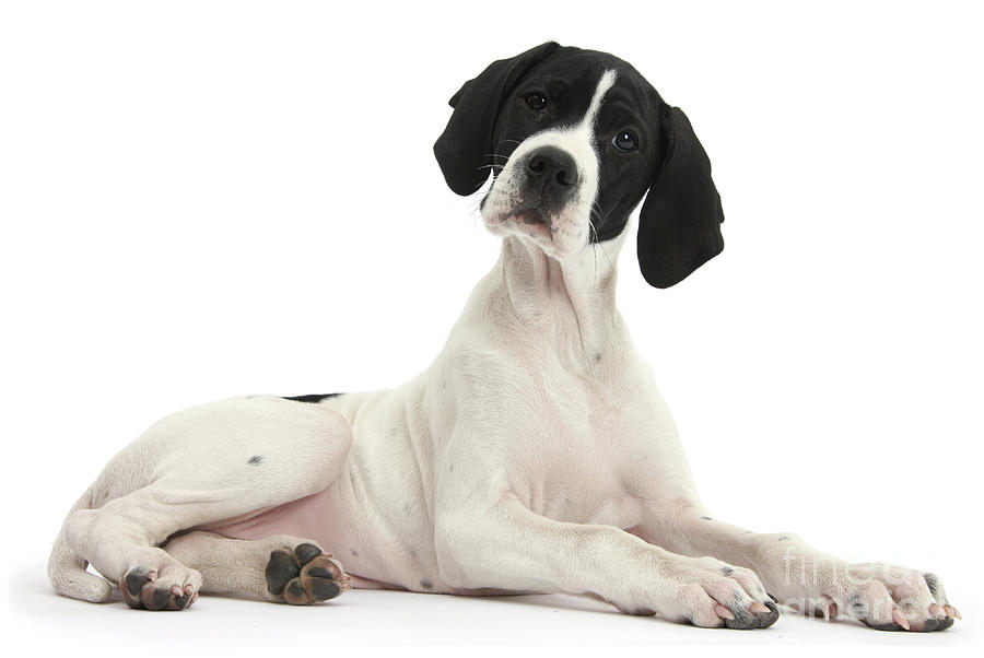 English Pointer Photograph - Black-and-white Pointer Pup by Warren Photographic