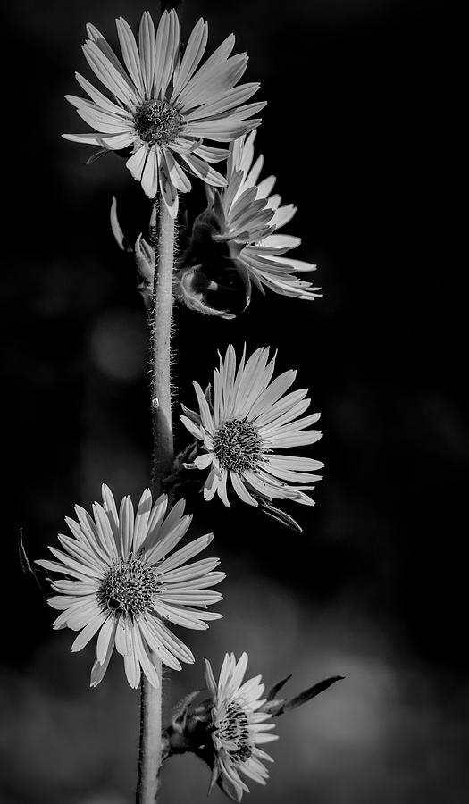 Black And White Prairie Sunflowers by Dan Sproul