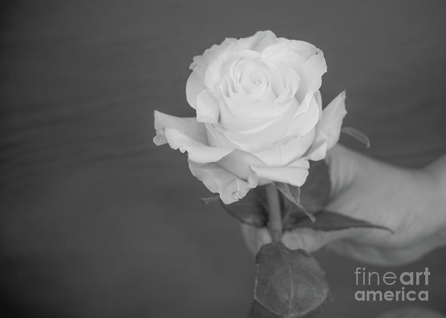Black and White Rose by Annerose Walz