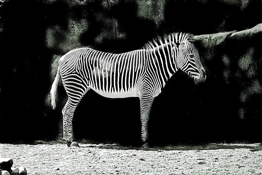 Black And White Sketch Of Zebra Photograph