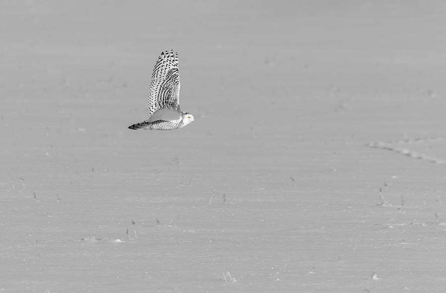 Black and White Snowy Owl 2019-1 by Thomas Young