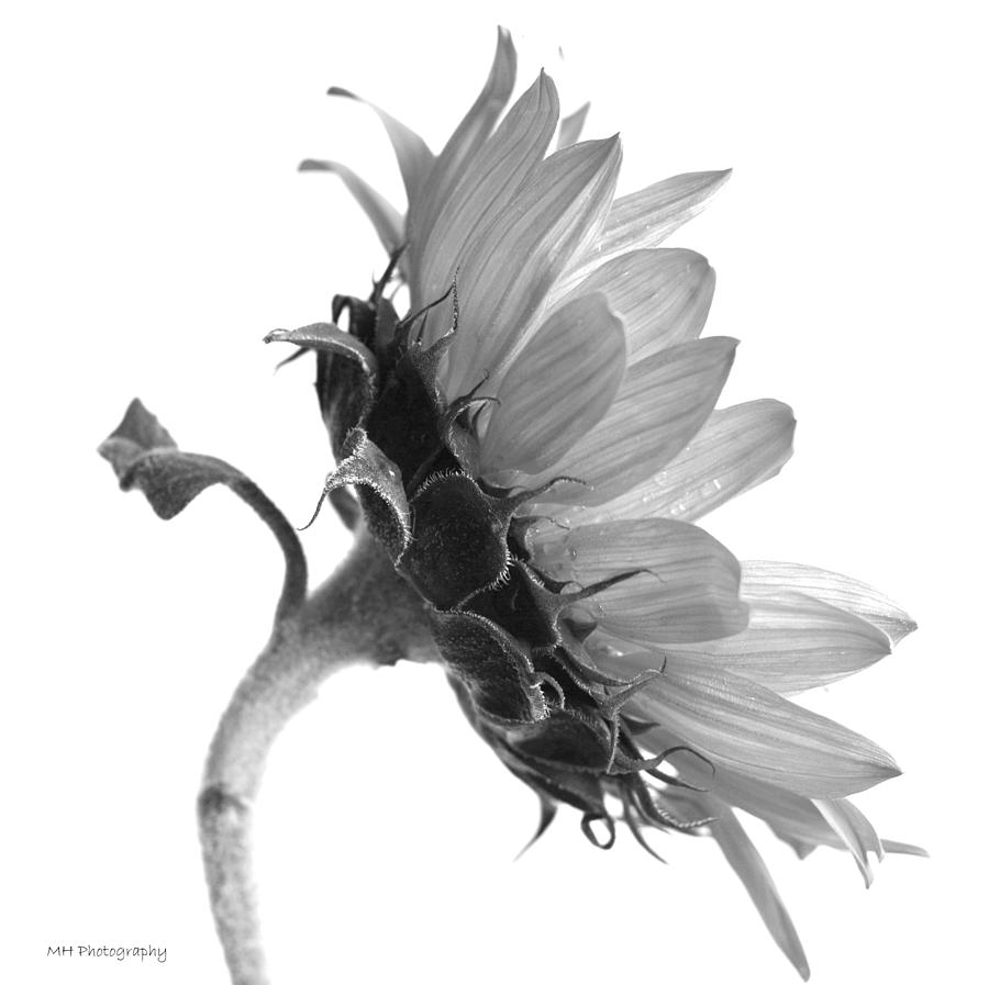 Black and white sunflower by phyllis keller