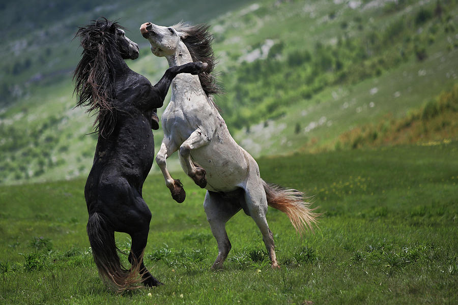Horse Photograph - Black And White by Vedran Vidak